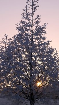 A beautiful pyramid shaped tree covered in hoar frost with a setting sun peeking through the branches.