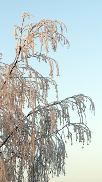Top of a tree cover with heavy hoar frost against a pale blue winter sky.