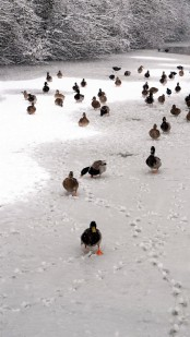 Large group of ducks waddling on a frozen and snow-covered canal.
