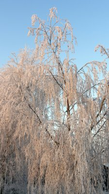 A tree heavily weighed down by hoar frost against a bright blue winter sky.