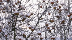 Snow laden branches bearing fruit.