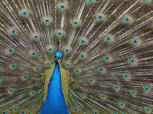 A close up detailed photo of a peacock with its tail fully-fanned showing vivid blue and green feathers.