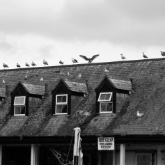 Black and white photo of a row of gulls perched along the roofline of a fish processing shed. One gull in the centre has its wings outstretched.