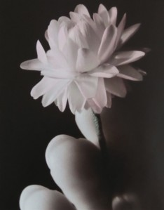 A close up photo of fingers holding a dried flower. The photo has been chemically sepia-toned. The petals of the flower are hand-tinted pink, the stem green.