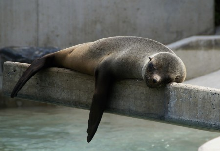 A very sleepy seal lying down along a concrete post. Completely chilled.