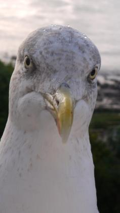 Close-up of a seagull head facing camera. Beads of rain on his head.