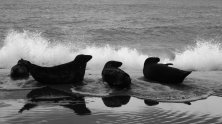 Black and white photo of 3 grey seals lying on the shoreline, silhouetted against an incoming surf. They all have their heads up and are looking to the right.