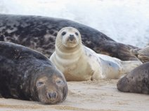 Grey seals on a sandy beach. Foreground is a sleeping dark coloured adult, with a young pale pup central and looking directly at the camera.