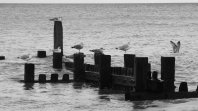 Black and white photo of a partly submerged wooden groyne with gulls perched along the top.