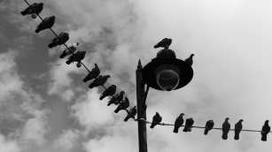 Black and white photo of the top of a lamp-post, which is supporting lighting wires. Dotted along the wires are several pigeons, mostly silhouetted and looking in different directions.