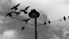 Black and white photo of a lamp-post which is supporting lighting wires. A group of pigeons are just taking off from the wires and are captured mid-flight against a cloudy sky.